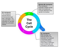 Eukaryotic cell cycle diagram