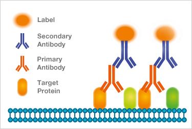 secondary-antibodies-optimization